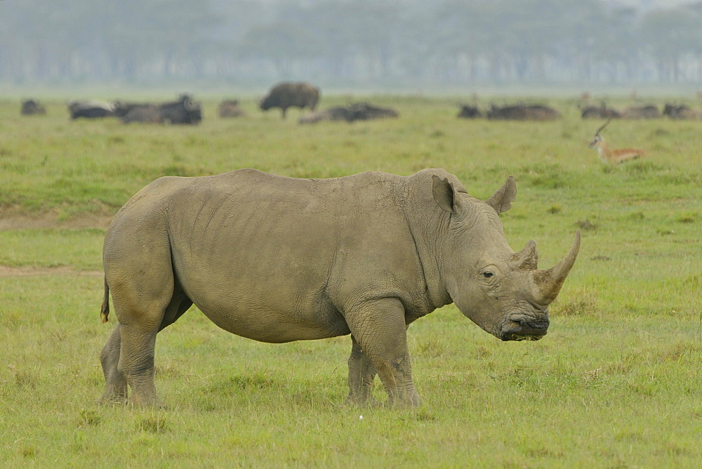 White Rhinoceros or Square-lipped Rhinoceros (Ceratotherium simum), Lake Nakuru National Park, near Nakuru, Rift Valley Province, Kenya, Africa