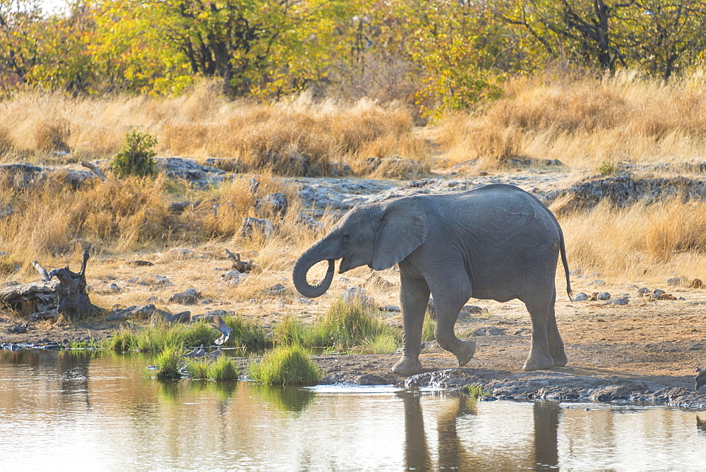 Young African Elephant (Loxodonta africana) drinking at the Nuamses waterhole, Etosha National Park, Namibia, Africa