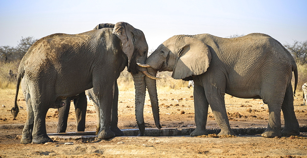 Two elephants playfully fighting, African Elephant (Loxodonta africana), Etosha National Park, Tsumcor waterhole, Namibia, Africa