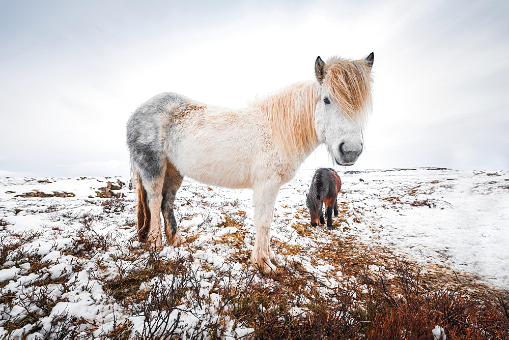 White Icelandic horse (Equus przewalskii f. caballus) in barren landscape with snow, West Iceland, Iceland, Europe