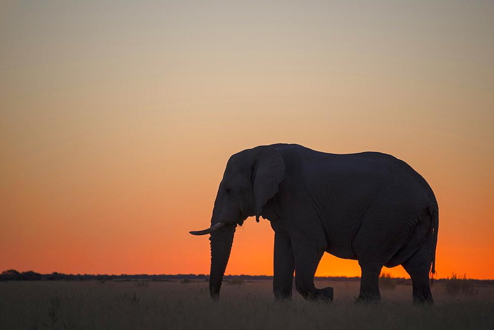African elephant (Loxodonta africana), silhouette at sunset, Nxai Pan, Nxai Pan National Park, Botswana, Africa