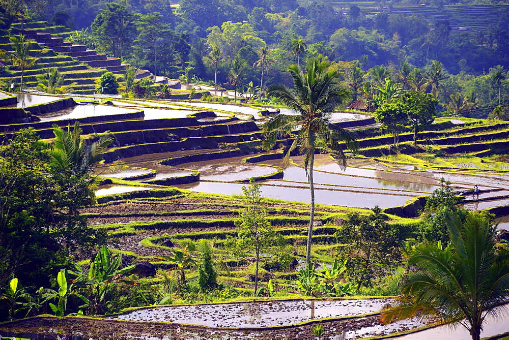 The famous rice terraces of Jatiluwih, Bali, Indonesia, Asia