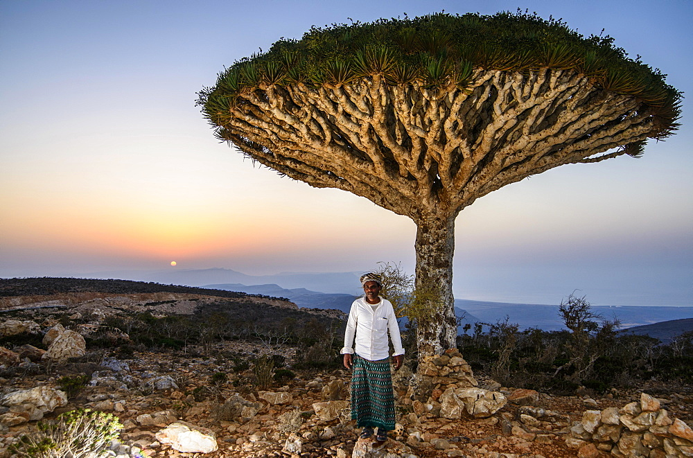 Yemenite man standing in front of a Socotra Dragon Tree or Dragon Blood Tree (Dracaena cinnabari), Dixsam plateau, Socotra, Yemen, Asia