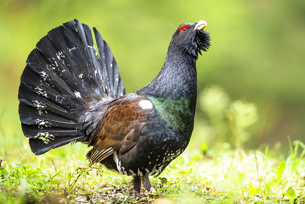 Western capercaillie (Tetrao urogallus), during the courtship, Berchtesgadener Land, Bavaria, Germany, Europe
