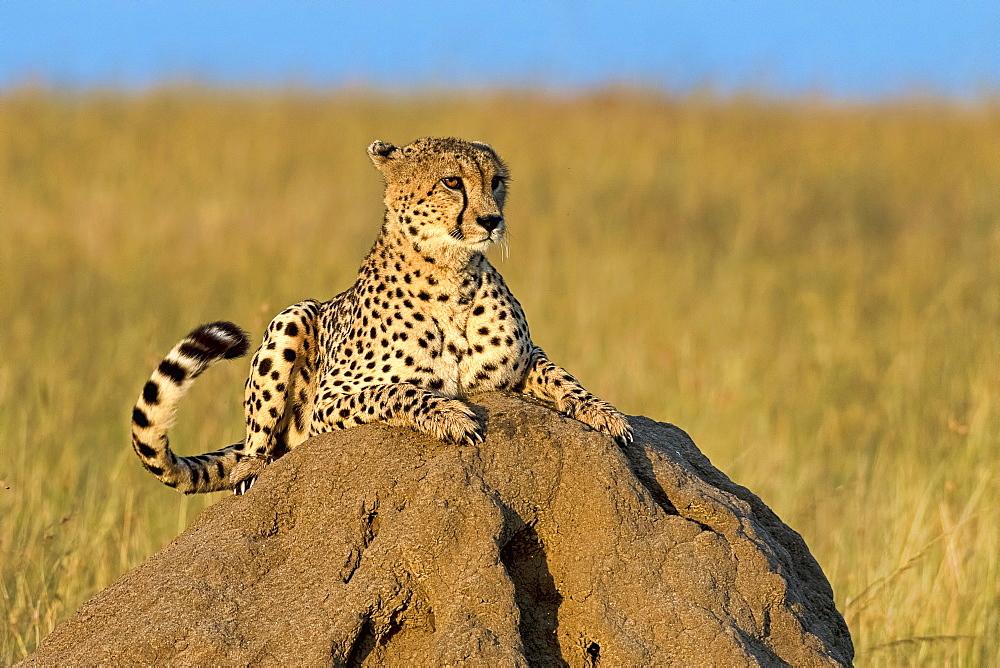 Cheetah (Acinonyx jubatus) lying on a rock in morning sun, Masai Mara, Kenya, Africa