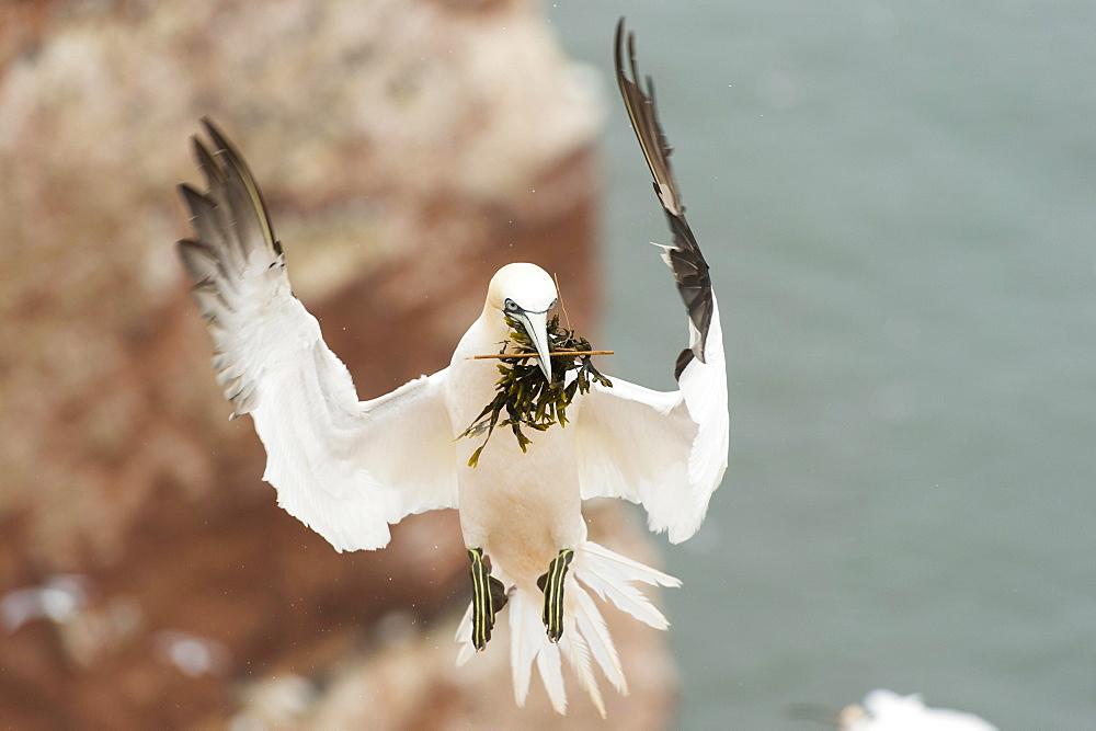 Northern gannet (Morus bassanus), in flight with nesting material, Heligoland, Schleswig-Holstein, Germany, Europe