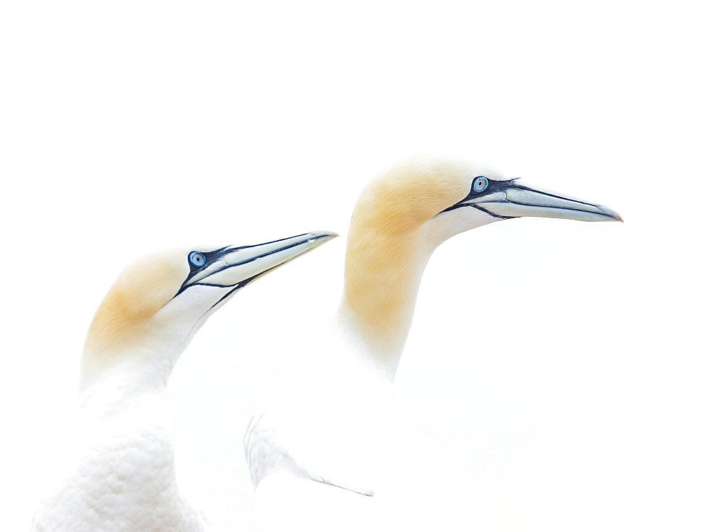 Northern gannet (Morus bassanus), animal pair, animal portrait, Heligoland, Schleswig-Holstein, Germany, Europe