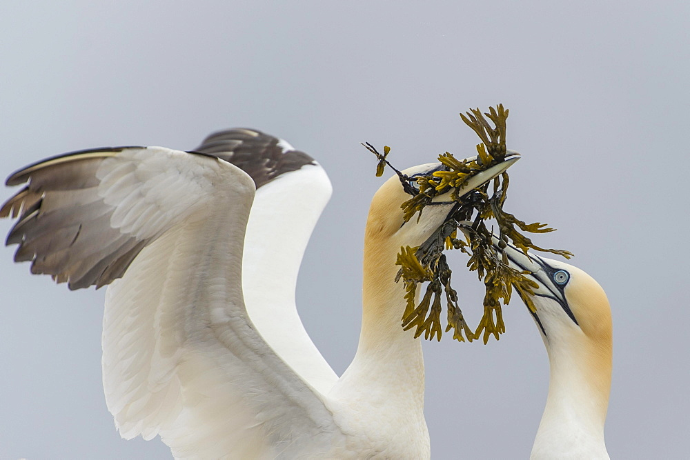 Northern gannet (Morus bassanus), pair with nesting material, Heligoland, Schleswig-Holstein, Germany, Europe