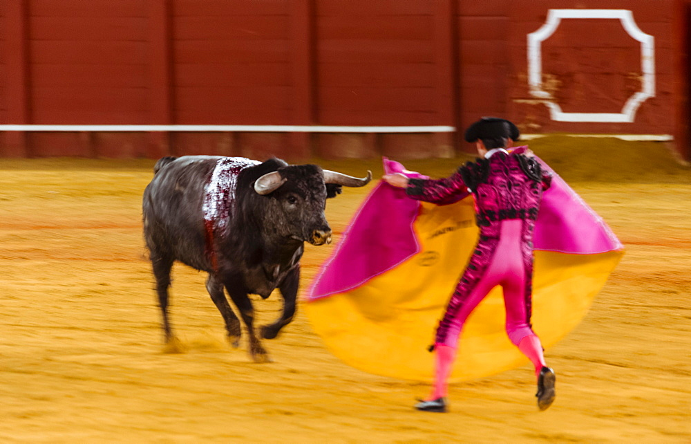 Racing bull with matador, torero or toureiro in traditional clothes, bullfighting, bullring Plaza de Toros de la Real de Maestranza de Caballeria de Sevilla, Sevilla, Andalusia, Spain, Europe