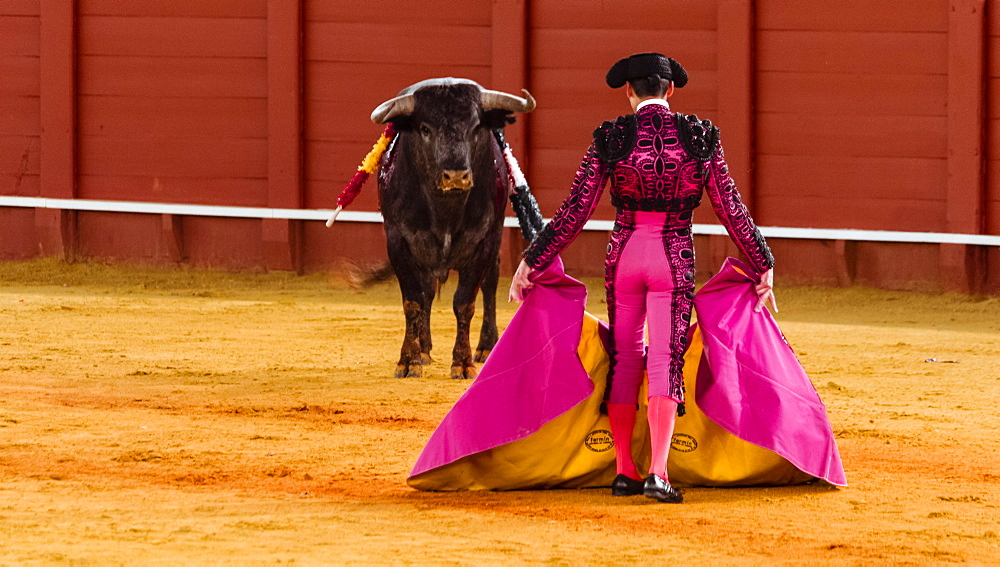 Bull stands in front of Matador, Torero or Toureiro in traditional clothing, bullfighting, bullring Plaza de Toros de la Real de Maestranza de Caballeria de Sevilla, Sevilla, Andalusia, Spain, Europe
