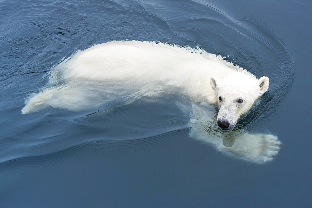 Polar Bear (Ursus maritimus) swimming, Svalbard Archipelago, Norway, Europe