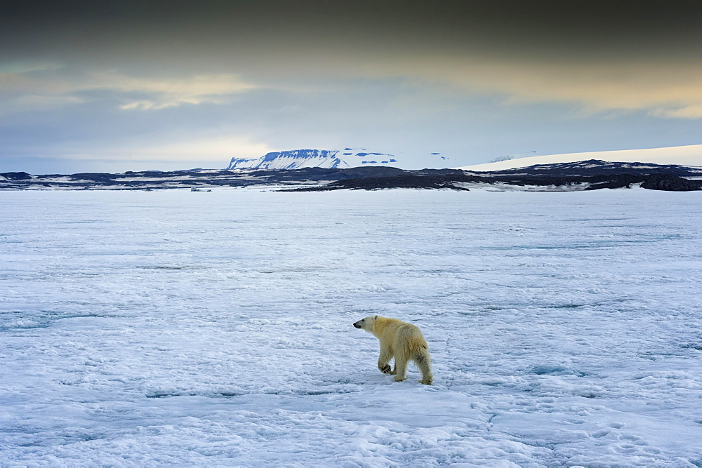 Polar Bear (Ursus maritimus) walking over pack ice, Svalbard Archipelago, Norway, Europe