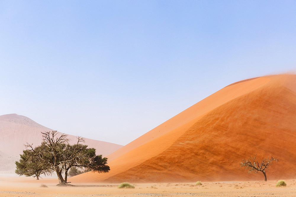 Camelthorn tree (Acacia erioloba) in front of Sand Dune, Dune 45, Sossusvlei, Namib-Naukluft National Park, Namibia, Africa