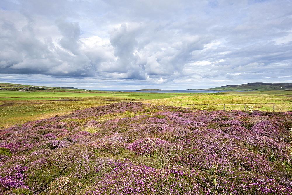 Flowering Heather (Calluna vulgaris), Orkney Islands, Scotland, United Kingdom, Europe