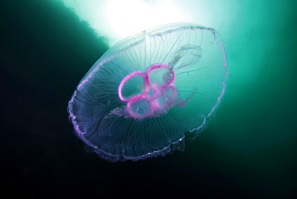Moon jellyfish (Aurelia aurita), Norwegian Sea, Northern Atlantic, Norway, Europe