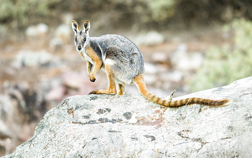 Yellow-footed rock-wallaby (Petrogale xanthopus), sits on rocks, South Australia, Australia, Oceania