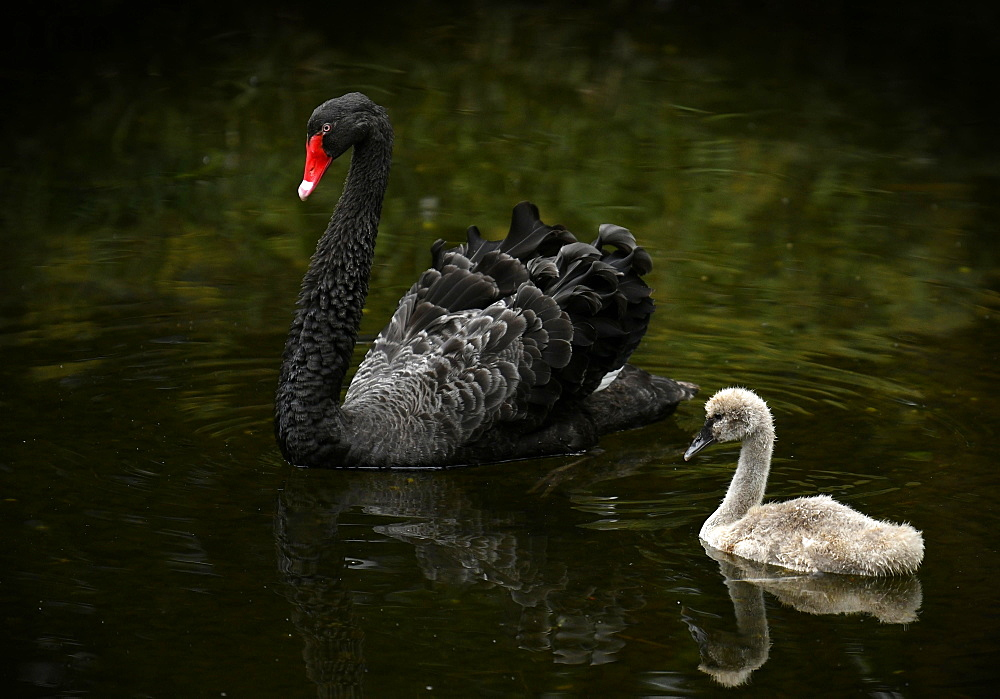 Black swan (Cygnus atratus) with chick swimming in the water, Spain, Europe