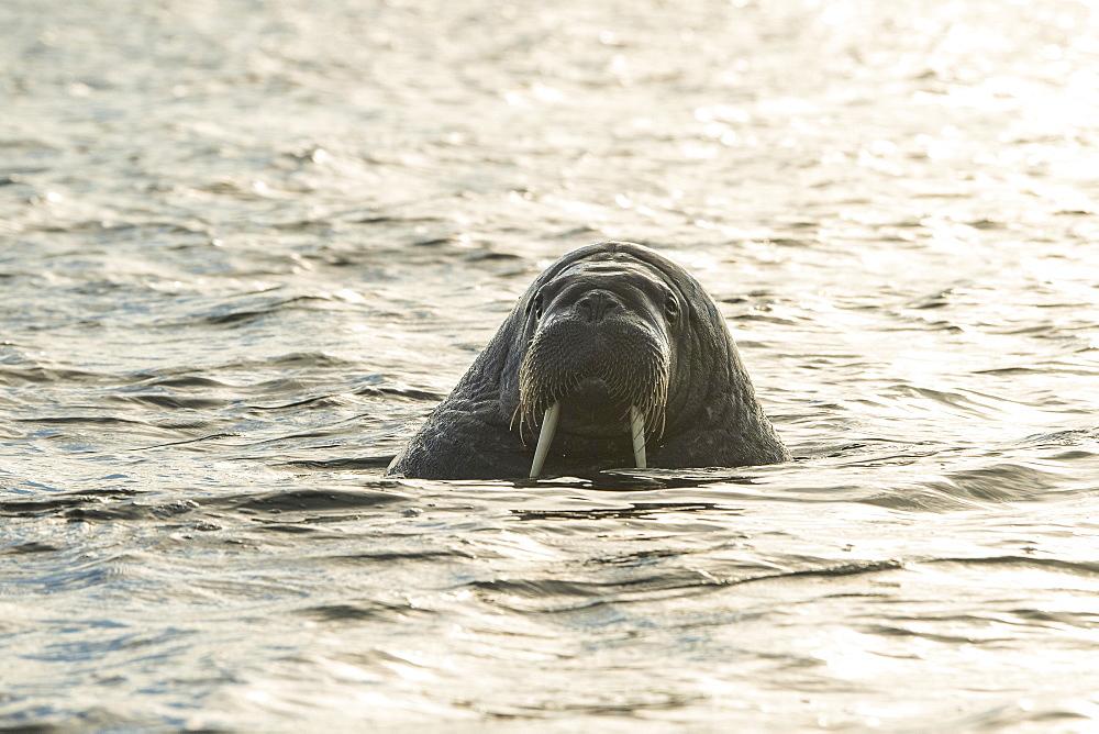 Walrus (Odobenus rosmarus), Moffen Island, Moffen Nature Reserve, Spitsbergen Archipelago, Svalbard and Jan Mayen, Norway, Europe