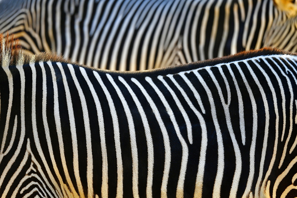 Fur pattern, stripes, Grevy's zebra (Equus grevyi), captive, Germany, Europe