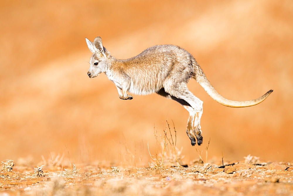 Common wallaroo (Macropus robustus), jumping through its habitat, young animal, South Australia, Australia, Oceania