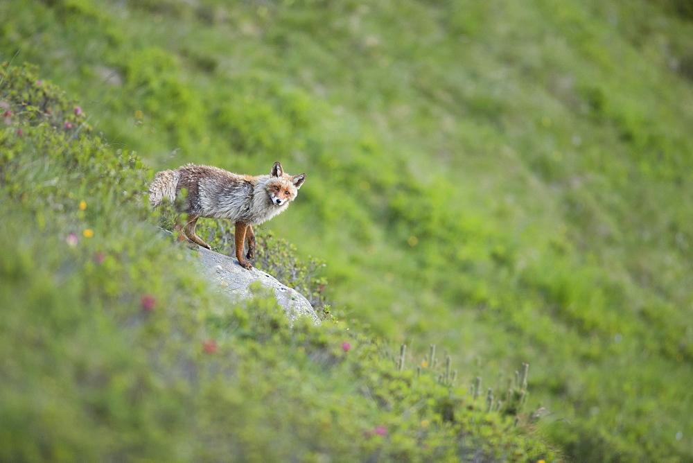 Red fox (Vulpes vulpes) in the mountains, Stubai Valley, Tyrol, Austria, Europe