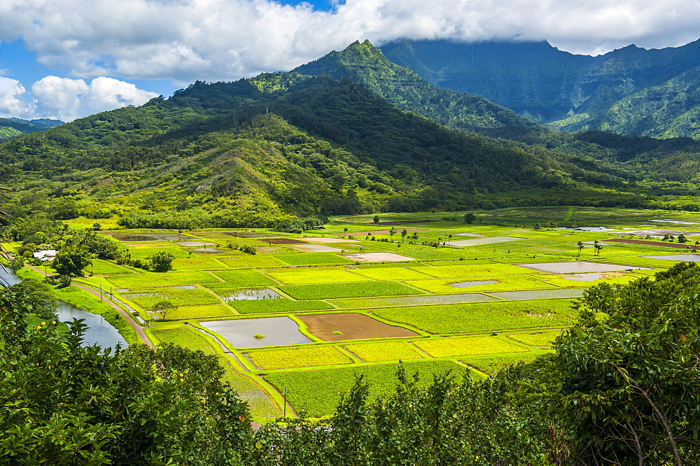 Taro fields near Hanalei on the island of Kauai, Hawaii, USA, North America