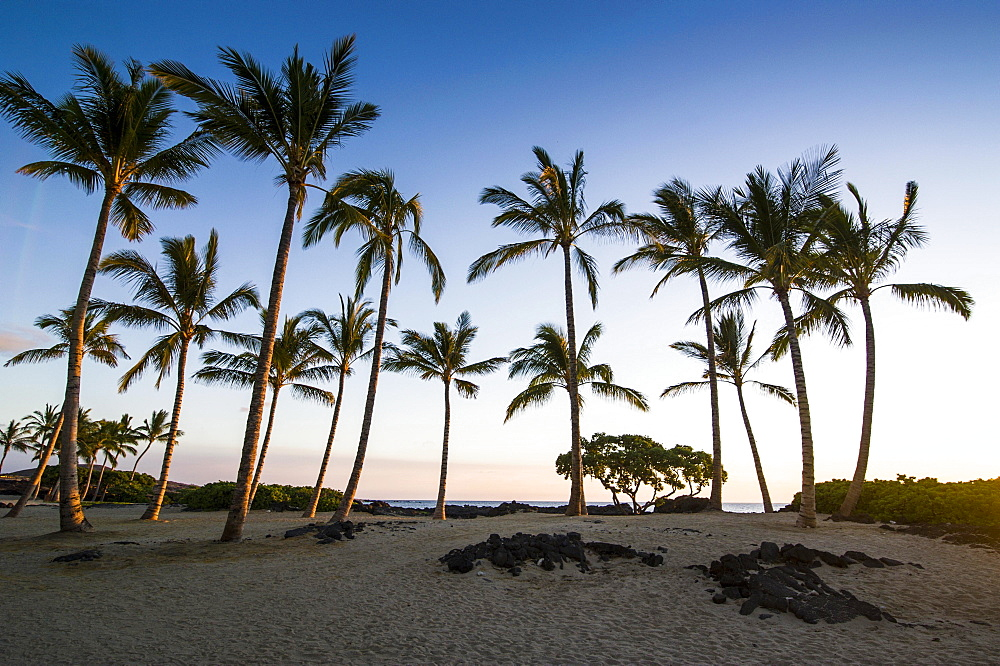 Palm grove at coast, Kikaua Point Park, Big Island, Hawaii, USA, North America