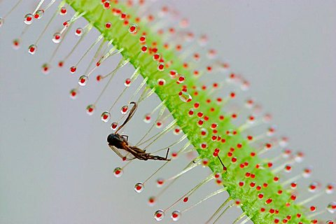 Caught insect in sticky hairs of African Sundew Drosera capensis carnivorous plant - 832-38361