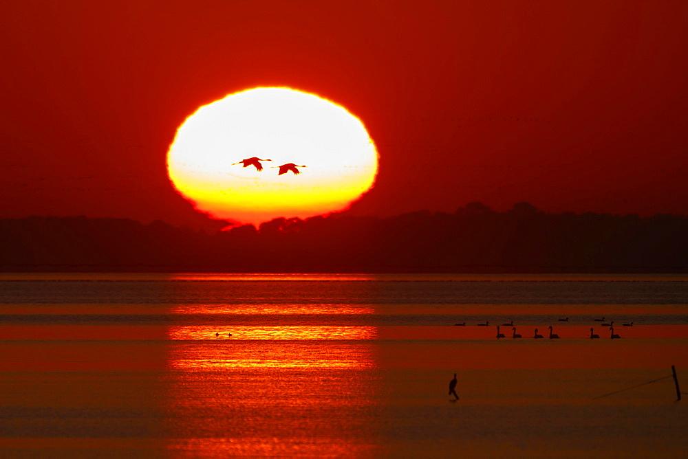 Common cranes (Grus grus), flying into the glowing sun at sunrise, Western Pomerania Lagoon Area National Park, Mecklenburg-Western Pomerania, Germany, Europe