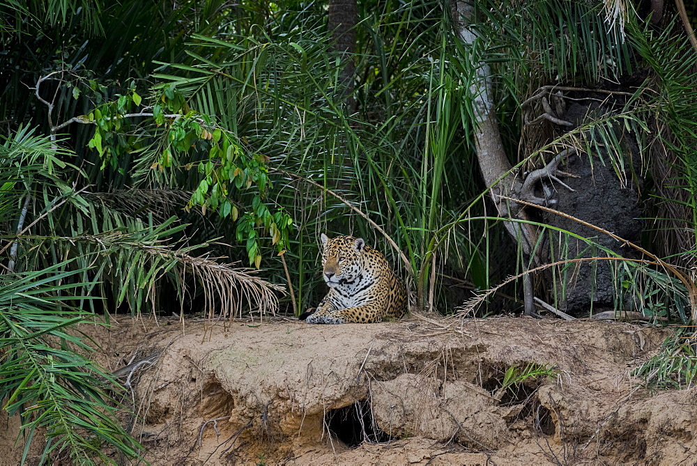 Jaguar (Panthera onca) on the lookout, banks of the Rio Negro, dense vegetation, Barranco Alto, Pantanal, Mato Grosso do Sul, Brazil, South America