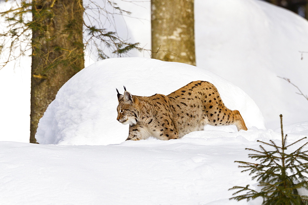 Eurasian lynx (Lynx lynx) in snow, winter, Bavarian Forest National Park, Bavaria, Germany, Europe
