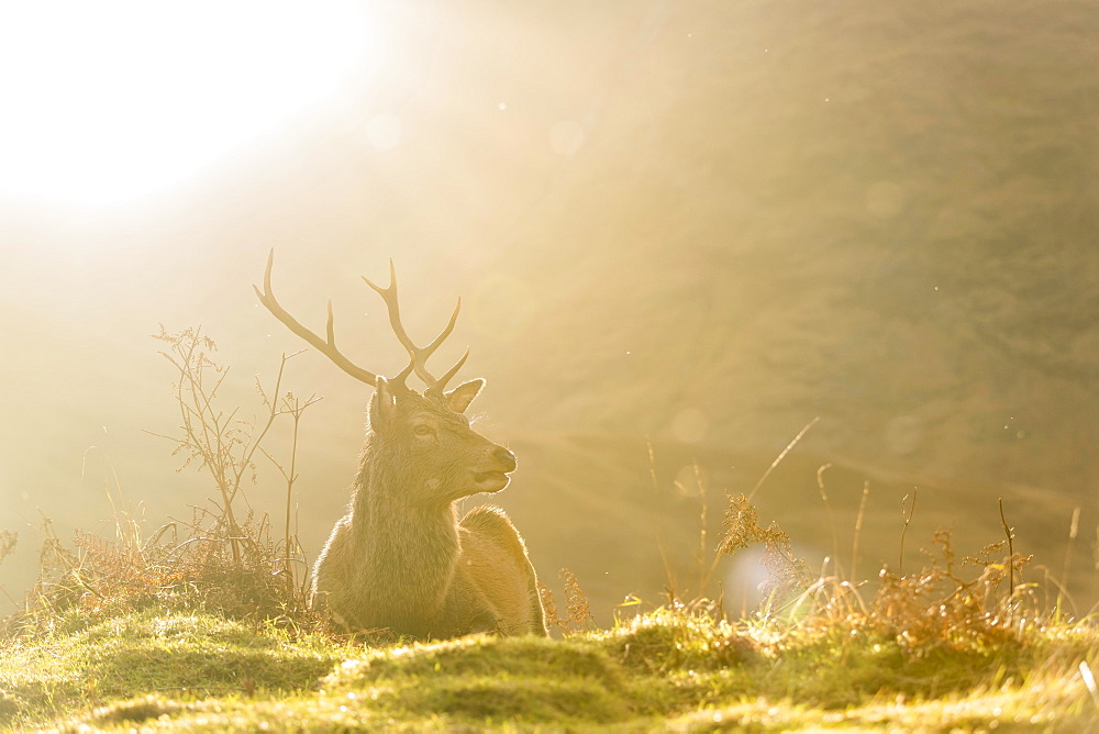 Red deer (Cervus elaphus) in soft morning light, Glen Coe, Fort William, Highlands, Scotland, United Kingdom, Europe