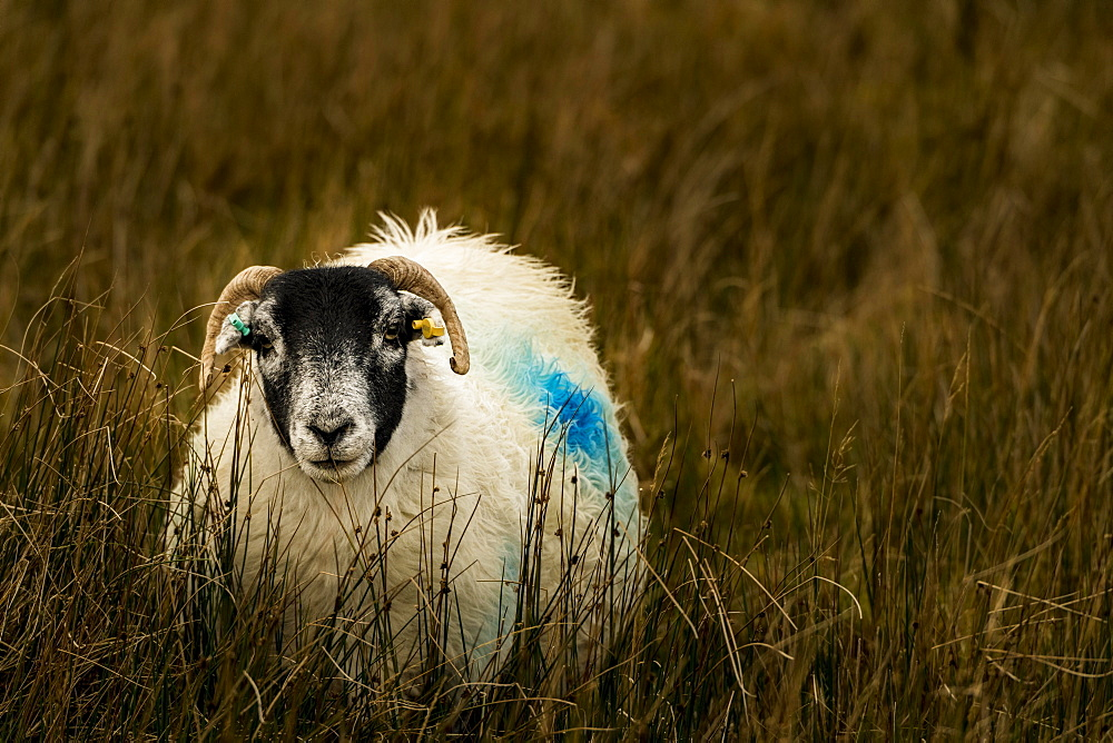 Scottish Blackface Domestic sheep (Ovis gmelini aries) in a meadow, Isle of Sky, Scotland, United Kingdom, Europe
