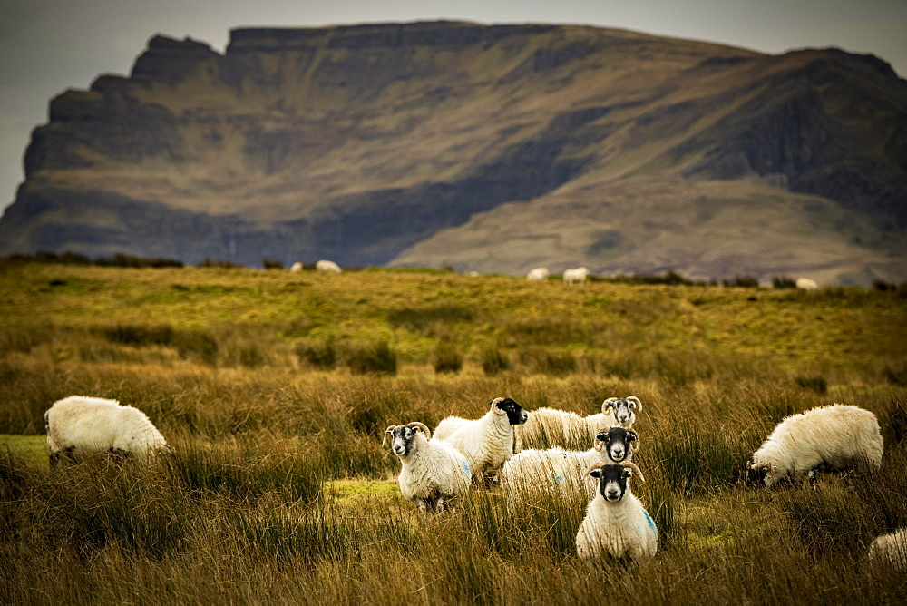 Scottish Blackface Domestic sheep (Ovis gmelini aries) in a meadow off mountain range, Isle of Sky, Scotland, United Kingdom, Europe