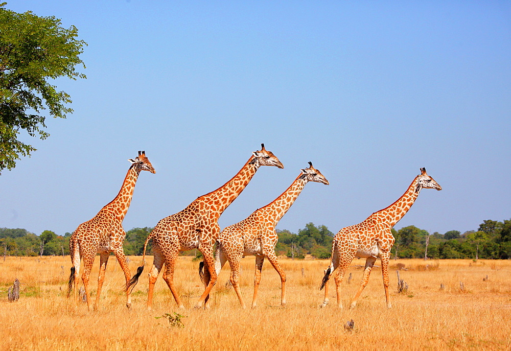 Giraffe Thornicrofti, herd walking, South Luangwa National Park, Zambia, Africa
