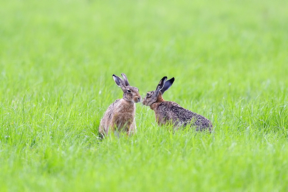 Two European hares (Lepus europaeus) get a taste of each other, Lower Rhine, North Rhine-Westphalia, Germany, Europe