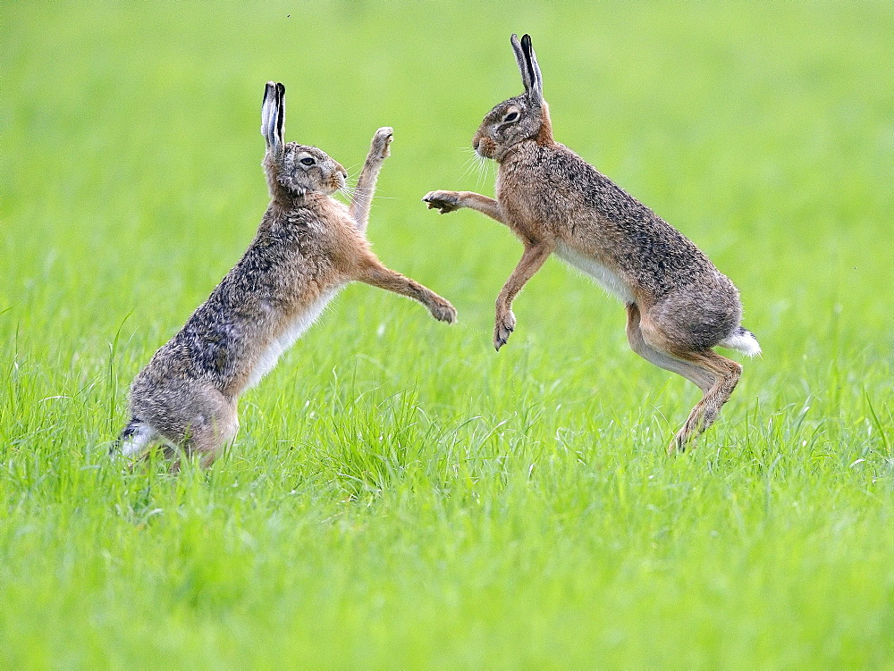 European hares (Lepus europaeus), two males fighting, Lower Rhine, North Rhine-Westphalia, Germany, Europe