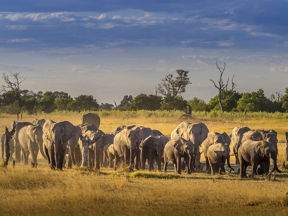 Elephant herd (Loxodonta africana) on the way to the water, Moremi National Park, Botswana, Africa