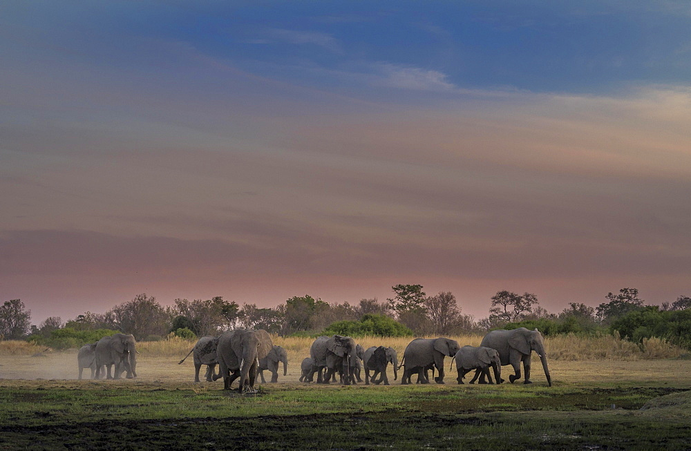 Elephant herd (Loxodonta africana) at dusk, Moremi National Park, Botswana, Africa