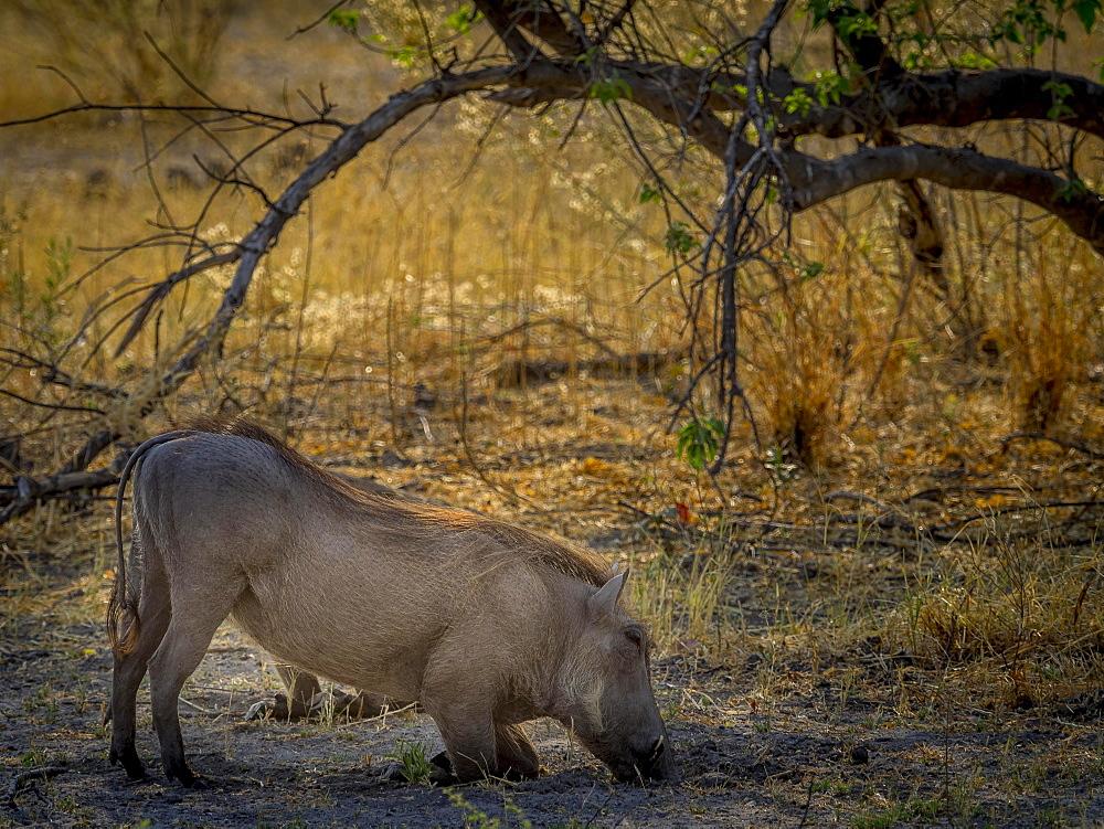 Common warthog (Phacochoerus africanus), kneeling while grazing, Moremi Game Reserve, Botswana, Africa
