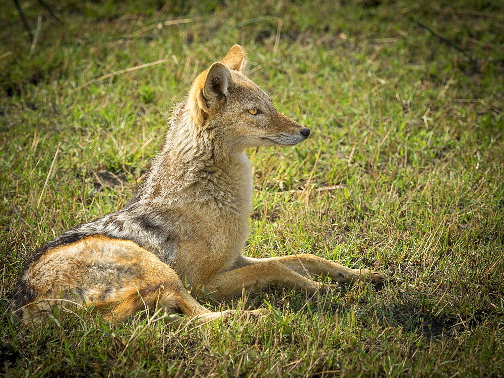 Black-backed Jackal (Canis mesomelas), looks attentively, Moremi Game Reserve, Botswana, Africa