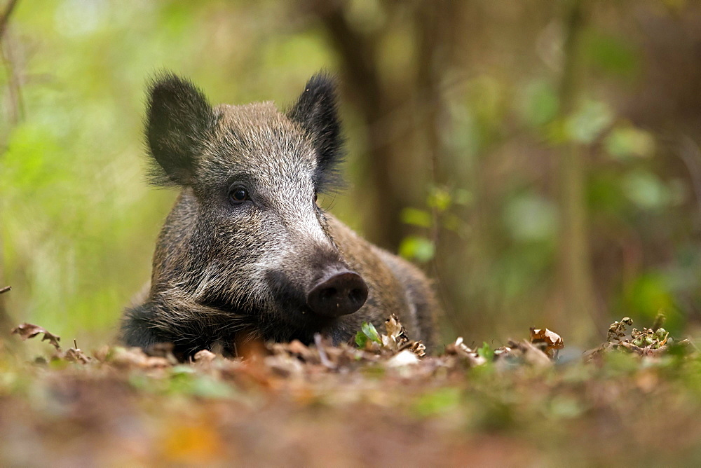 Wild boar (Sus scrofa) lies in oakleaves, Prerow, Germany, Europe