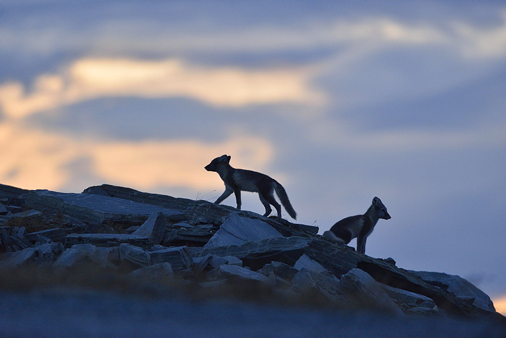 Arctic fox (Vulpes lagopus), two young animals on a rock, Silhouette, Dovrefjell, Norway, Europe