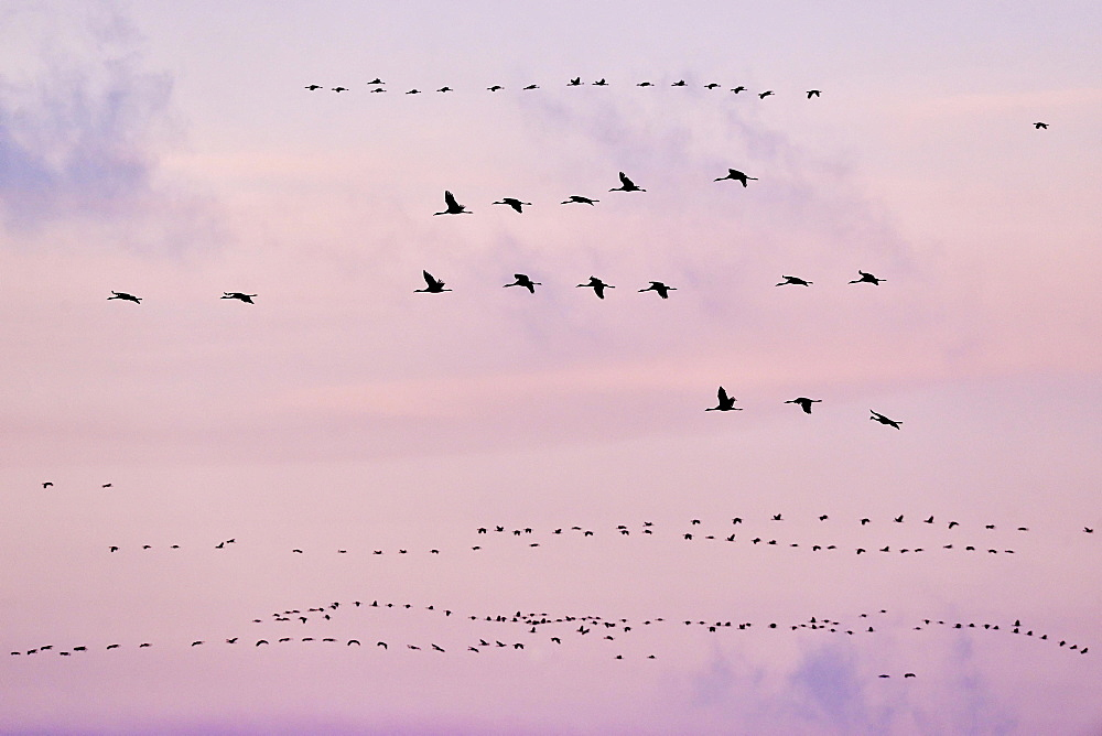 Bird migration, cranes (Grus grus) flying in the evening sky, Fischland-Darss-Zingst, Mecklenburg-Western Pomerania, Germany, Europe