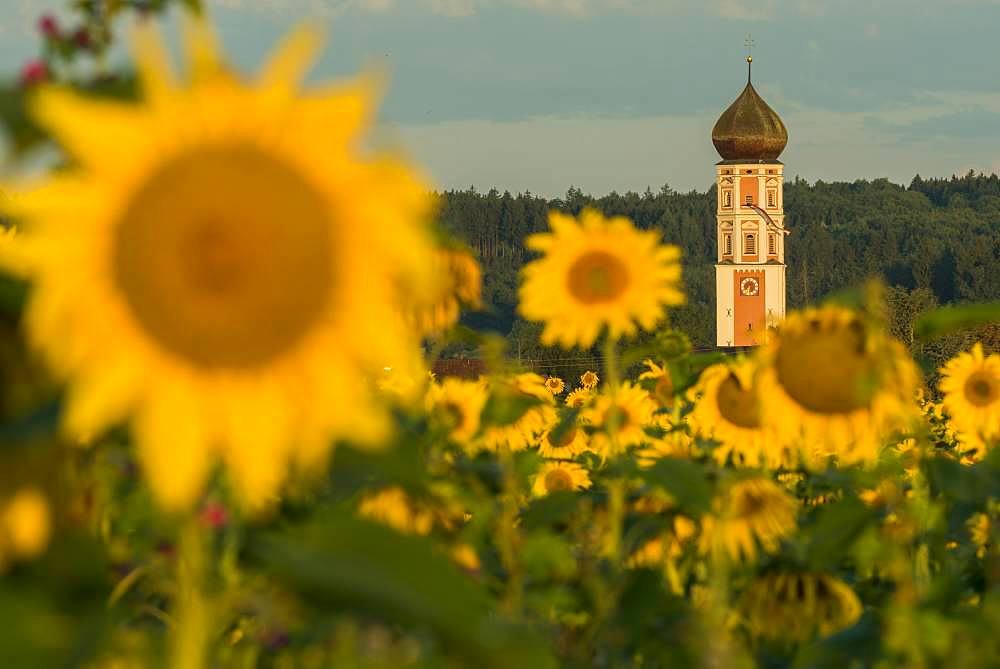 Parish Church of the Assumption of the Virgin Mary with sunflower field, Oberkammlach, Unterallgaeu, Bavaria, Germany, Europe