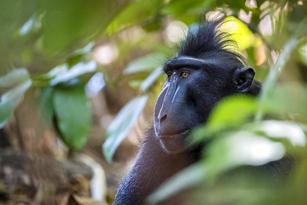 Celebes Crested Macaque (Macaca nigra), animal portrait, Tangkoko National Park, Sulawesi, Indonesia, Asia