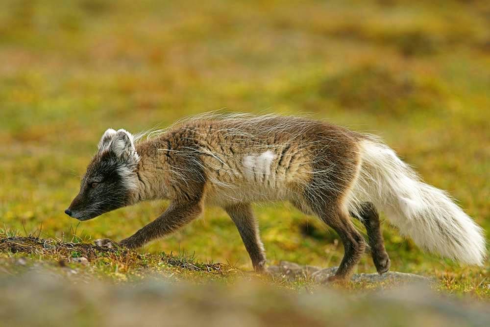 Arctic fox (Vulpes lagopus), Svalbard, Norwegian Arctic, Norway, Europe