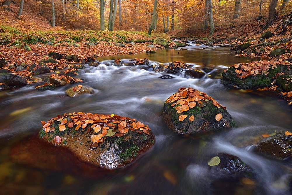 Gebirgsbach Ilse flows through autumnally coloured deciduous forest, Harz, Saxony-Anhalt, Germany, Europe