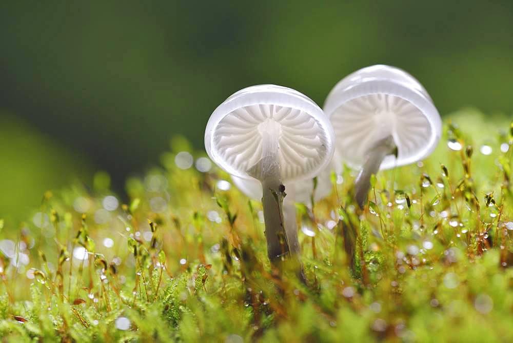 Porcelain fungi (Oudemansiella mucida) on a mossy trunk, Harz, Saxony-Anhalt, Germany, Europe