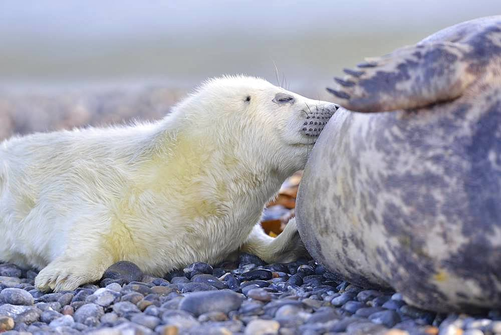 Grey seals (Halichoerus grypus), young animal is suckled by mother, Insel Duene, Helgoland, Lower Saxony, Germany, Europe